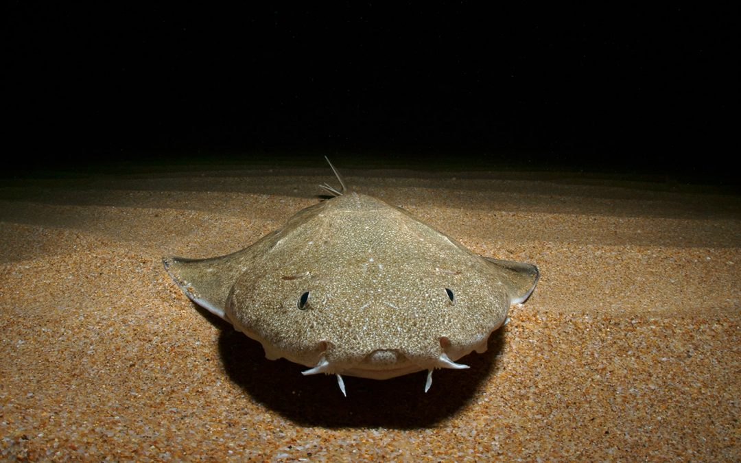 Dave and Barry- A Tale about Angel Sharks