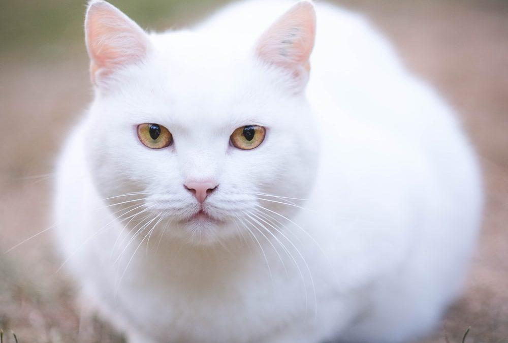 My Cat Pixi